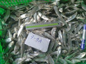 mùa đánh bắt cá trích